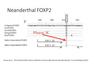 Neanderthal FOXP2